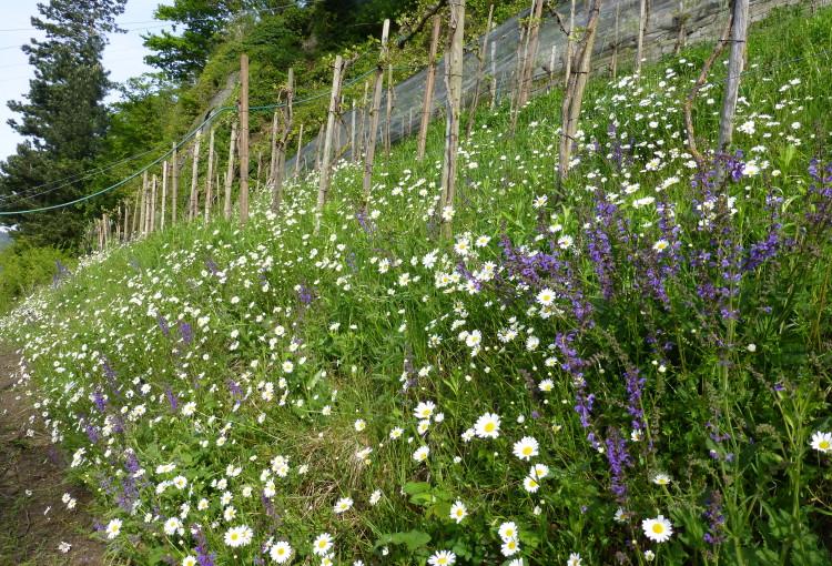 Blütenpracht im Rebberg – Dankeschön an Magma!