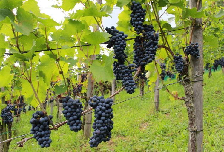 Mithelfen bei der Weinlese im Bio-Rebberg?