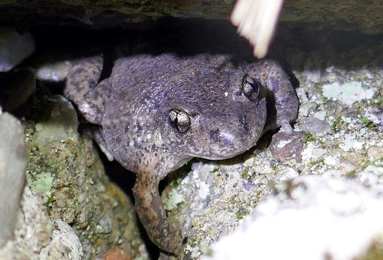 Der Glögglifrosch – ein heimliches Tier