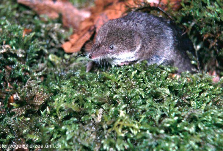 Miniatur-Raubtiere: Spitzmäuse